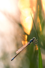 The fireman (Adrien-C) Tags: dragonfly fire fireman insect insects macro macrophotographie sun bokeh lights light flaire nature closeup eyes