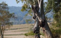 big burls (dustaway) Tags: trees burls trunks myrtaceae eucalyptustereticornis forestredgum landscape backcreekvalley richmondvalley northernrivers nsw australia australianlandscape winter afternoonlandscape burr bur