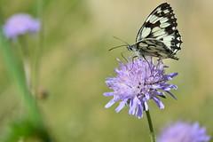 papillon Demi-Deuil mle (Laurent M. Photos) Tags: flower macro nature fleur animal plante butterfly nikon champs papillon extrieur insecte macrophotography lpidoptre knautie