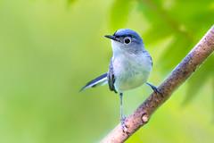 Blue-gray Gnatcatcher (RawComposition) Tags: wild bird nature nikon michigan birding nikon200500
