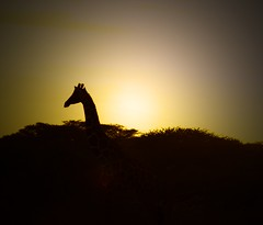 girafee (abdulatifabdulkadir) Tags: garissa nikon d200 kenya northeastern