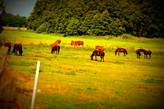 Eine ganze Pferde-Herde (schinzel.hansjrgen) Tags: pferde koppel herde wiese altmark kltze wald