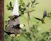 Finches (hz536n/George Thomas) Tags: 2016 cs5 canon canon5d ef300mmf4lisusm finch michigan prescott summer bird copyright upnorth