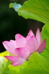 2016 Lotus #5 (Yorkey&Rin) Tags: 2016  em5 japan july lotus machida olympus olympusm75300mmf4867ii rin t7191497 tokyo yakushiikekouen      ngc