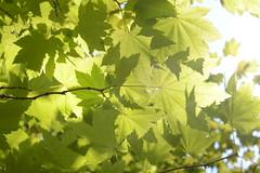 Sunblocker (simon.stoelben) Tags: berlin botanischergarten berlinsteglitz nature natur green grn leaves sunlight sonnig sun sunny summer sommer august maple ahorn mapleleaf botanicalgarden vacation holiday