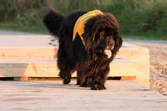 Swim Day -2 (NicoleW0000) Tags: newfoundlanddog swim day