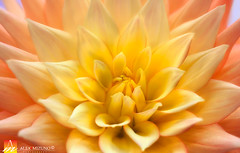 Dahlia-20 (Nualchemist) Tags: flower plant nature simplyflowers petals pink bloom green greenleaves floralphotography dahlia yellow red summer fullbloom botanical bright light floral heavenly macro orange 2016dahiashow colorful white closeup delightful glorious magical soft goldengatepark pretty palepink lightpink enchanting sanfrancisco singleflower cheerful joyful delight california colors palette botanicalgarden organicpattern purple lavender designbynature geometric elementsofdesign silky velvet softlight veil tender flame fire