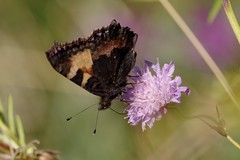 IMGP1054 Small Tortoiseshell, Devil's Dyke (Cambs), August 2016 (bobchappell55) Tags: butterfly insect smalltortoiseshell devilsdyke cambridgeshire reach