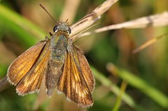 Lulworth Skipper - Durslton CP Dorset 240816 (1) (ailognom2005-Catching up slowly.) Tags: butterflies butterfliesmothsandcaterpillars lulworthskipper insects britishinsects wildlife durlstoncountrypark durlstoncpdorset dorset dorsetwildlife naturereserves naturalhistory macro
