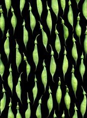 57556.01 Baptisia australis (horticultural art) Tags: horticulturalart baptisiaaustralis baptisia falseindigo seedpods pattern