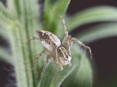 Araa. (cachanico) Tags: omdem5 zd35 35mm macro spider araigne ragno aranha olympus flash flashanular daroca zaragoza aragn cachanico