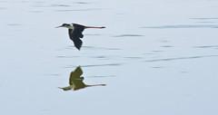 Black-necked Stilt (Himantopus mexicanus); Wilcox, AZ, Twin Lakes [Lou Feltz] (deserttoad) Tags: nature arizona water refuge bird wildbird wader stilt flight behavior