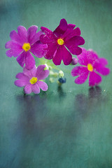 Primula (borealnz) Tags: primula flower pink bright magenta red colourful spring studio flora indoors