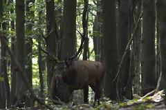Jele szlachetny ( Cervus elaphus ) Red deer (Fotografia przyrodnicza - moje hobby. Zapraszam...) Tags: jele szlachetny cervus elaphus red deer byk byki bieszczady rykowisko 2016 wrzesie gody jeleni jelenie anie ania poroe korona las lasy nature wild nikon d7100 tamron 150600 vc triopo gt bies czady fotografia przyrodnicza ukasz drobot przyroda ubr ubry jesie bieszczadzki park narodowy poranek mga