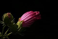 _DSC0201 (wdeck) Tags: meingarten flowers sonya700 blossoms blte malve hibiskus