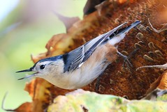 white-breasted nuthatch at Seed Saver's Exchange IA 854A0882 (lreis_naturalist) Tags: whitebreasted nuthatch sunflower seed head savers exchange winneshiek county iowa larry reis