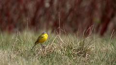 *** (pszcz9) Tags: polska poland przyroda nature natura parknarodowy nationalpark ptak bird zblienie closeup bokeh wiosna spring beautifulearth sony a77 trawa grass