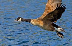 Canada Goose ( Branta canadensis ) (Mid Glam Sam1) Tags: canadagoose canadian goose waterfowl geese inflight lake wales takingoff brantacanadensis