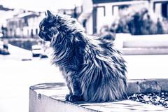 Defying Cat (Diekk) Tags: nikon d3100 cat gato angora bw blancoynegro animal naturaleza nature airelibre ciudad city outside urban urbano pueblo village town longhair pelolargo ojo ojos eye eyes colour color felino