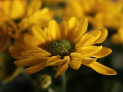 1 Evening Yellow (reflection below) (Mertonian) Tags: yellow green flower blossom mertonian robertcowlishaw canon powershot g7x mark ii canonpowershotg7xmarkii awe wonder ineffable evening beauty forsophia depth richcolors eveninglight love soft elegant