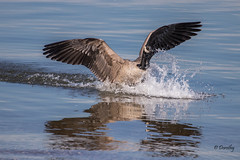 Coming in for a Landing! (Jersey Camera) Tags: goose canadagoose redbankbattlefield delawareriver geese canadageese brantacanadensis