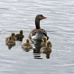 Family Outing. (clarktom845) Tags: ducks water nature scotland