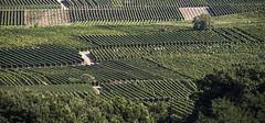 le vignoble alsacien (mrieffly) Tags: vignes rangs canoneos50d alsacehautrhin
