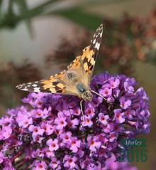 Painted Lady butterfly (ttbeep) Tags: paintedlady butterfly otley riverwharfe canoneos700d yorkshire buddleia flower