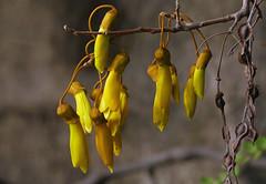 Anglų lietuvių žodynas. Žodis genus sophora reiškia genties sophora lietuviškai.