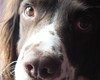 Those puppy eyes (Shooting Star <3) Tags: portrait dog english closeup puppy spring eyes spaniel springer indi