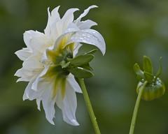 Dahlia (PriscillaBurcher) Tags: dahlia flowers flores whiteflower dalia florblanca whitedahlia dsc0223 daliablanca
