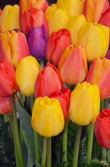 Pretty bunch of tulips (Perl Photography) Tags: flowers orange plants nature floral beautiful yellow garden botanical petals spring flora colorful pretty tulips gardening vibrant background blossoms flowerbed growth bulbs blooms springtime blooming