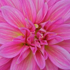 Pink squared (Deb Jones1) Tags: pink flowers flower macro nature floral beauty canon garden botanical outdoors flora australia dalhia flickrduel debjones1