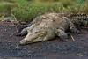 American Crocodile, Tarcoles, Costa Rica. 05 May 2012. (mikebaird) Tags: river costarica crocodile iphone notgps americancrocodile tarcoles notgeotagged mikebaird tårcoles 05may2012
