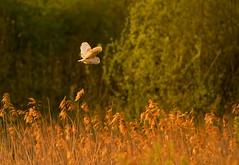 _MG_0043 Barn Owl (Tyto alba), Brandon Marsh, Warwickshire 06May12 (Lathers) Tags: brandon warwickshire barnowl tytoalba nbw brandonmarsh 06may12 canon7d canonef500f4lisusm wkwt