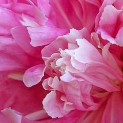 Paeonia (AleksandraMicic) Tags: photography images flowers pink petals aleksandramicic 7dwf flower flickr outdoor serene bright pastel plant photo photos image slika slike cvet bozur petal fotografija micicart micicartstudio