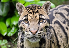 Clouded Leopard 1 (Funky Foxy) Tags: lion africanlion cloudedleopard pantheraleo neofelisnebulosa flickrbigcats endangeredbigcats
