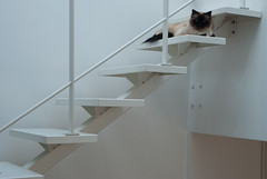 Purrfect Position - Brussels, Belgium (Janicskovsky) Tags: blue brussels hairy white holiday slr eye metal architecture stairs cat fur french paw eyes furry nikon feline belgium blueeyes fluffy bruxelles staircase belgian paws dslr flemish interiordesign minimalist francais flanders birman anderlecht d80 nikond80 ruebisse bissestraat