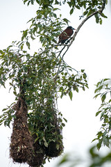 Montezuma oropendola & hanging nests (koalie) Tags: vacation tree costarica nest heredia montezumaoropendola cassiquedemontezuma 2012springvacation