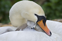 Mute Swan & Cygnet (Jacky Parker Floral Art) Tags: sleeping baby cute nature horizontal closeup landscape grey swan adult wildlife young mother cygnet reserve fluffy waterbird parent dorset asleep juvenile orientation mute abbotsbury hatched wildfowl cygnus swannery olor