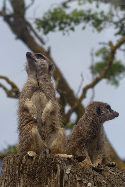 Meerkats on lookout duty