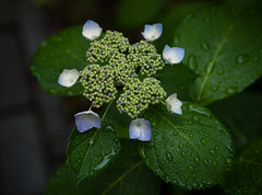 (kasa51) Tags: flower digital lumix blossom olympus panasonic raindrops hydrangea f18 45mm earlysummer  gf1 mzuiko
