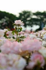 Main character (<Lee.>) Tags: city summer flower art love festival observation happy nikon asia bokeh korea seoul d7000