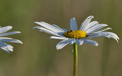 Long ways down (Cats 93) Tags: flower june daisies weed pretty alberta daisy fairview 2012 mayweed scentlesschamomile