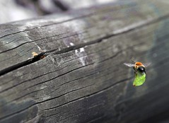 "Humble Bee ""Cargo Lifter"" in final Approach (rolfspicture) Tags: nature closeup leaf lifting humblebee supershot"
