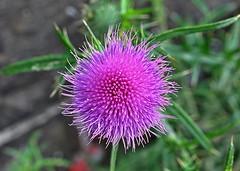 Mauerblmchen (Kleine Helden) (GelsenBuer) Tags: plant flower nature natur pflanze blume wildflower wallflower mauerblmchen wildpflanze