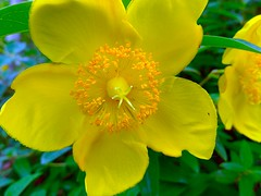 Hypericum (love_child_kyoto) Tags: friends summer flower macro nature june garden kyoto gardening    yellowflowers  rainyseason hidcote        ritsumeikanuniversity   hypericumpatulum takenwithlove    tallstjohnswort leicadlux5 dlux5