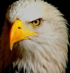 """""""Wotan"""" (Galeyo) Tags: featheryfriday bej fantasticnature thewonderfulworldofbirds thedigitalcameraclub allofnatureswildlifelevel1 iloveallofnatureswildlifelevel1 me2youphotographylevel2 me2youphotographylevel3 freedomtosoarlevel1birdphotosonly"""