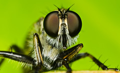 Robber Fly (EXPLORED on 2nd July 2012) (asish mohanty) Tags: light shadow sunlight green eye up fly leaf compound nikon close natural flash tubes sigma tokina extension teleconverter 250 asish hoverfly robber mohanty dcr 105mm damsefly raynox lauxaniidae d7000 sb910