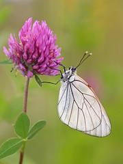 Black-veined White (chaz jackson) Tags: white insects bulgaria butteflies aporia crataegi blackveined pieidae